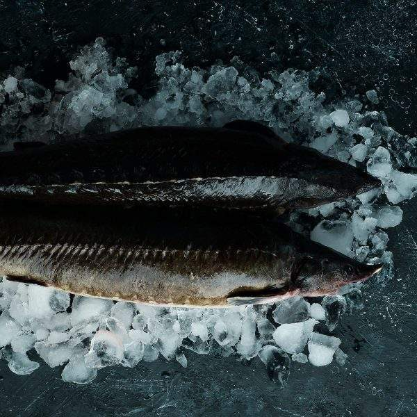 esturión pescado