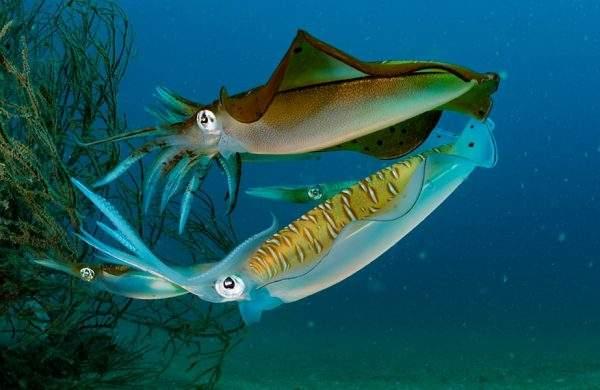 diferencias sepia calamar